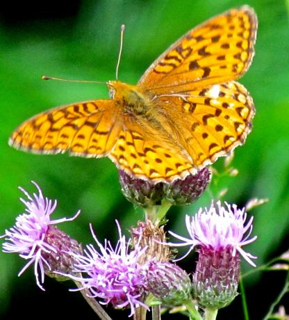 Coronis Fritillary Butterfly by Larinda hunt