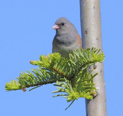 Dark-eyed Junco by Alan Ramsey