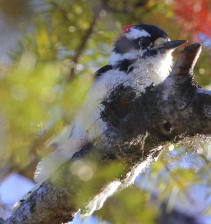 Downy Woodpecker by Alan Ramsey