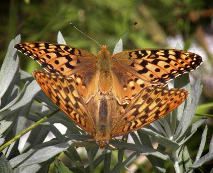 Fritillaries mating by Jeff Clarke