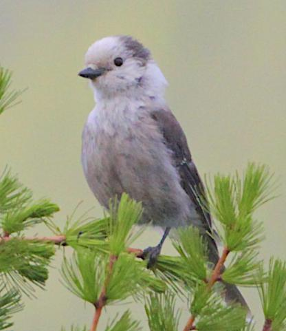 Gray Jay by Alan Ramsey