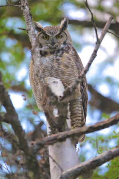 Great Horned Owl by Alan Ramsey