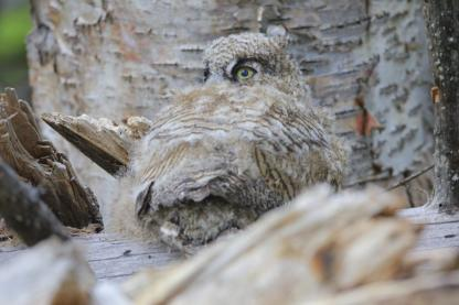 Great Horned Owl Chick by Alan Ramsey