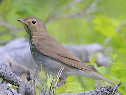 Hermit Thrush by Alan Ramsey