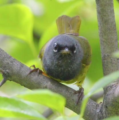 MacGillivray's Warbler by Alan Ramsey