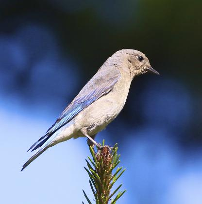 Mountain Bluebird by Alan Ramsey