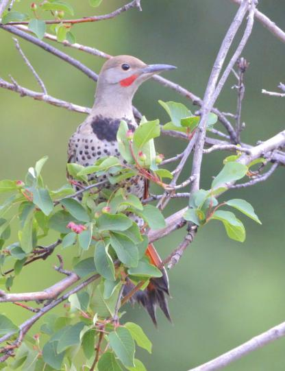 Northern Flicker by Alan Ramsey