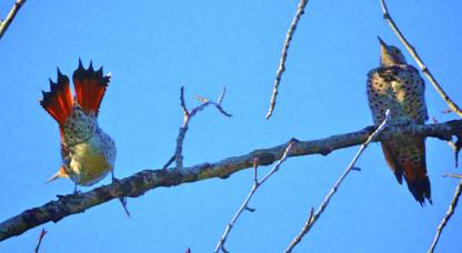 Northern Flickers by Alan Ramsey