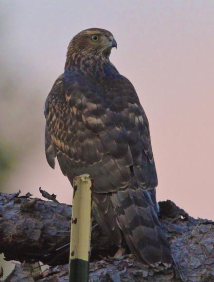 Northern Goshawk by Alan Ramsey