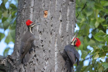 Pileated Woodpeckers by Alan Ramsey