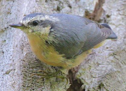 Red-breasted Nuthatch by Alan Ramsey