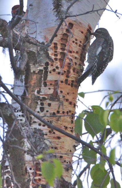 Red-naped Sapsucker by Alan Ramsey