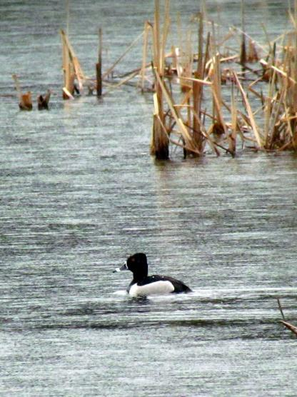 Ring-necked Duck by Beau Larkin