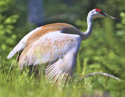 Sandhill Crane by Alan Ramsey