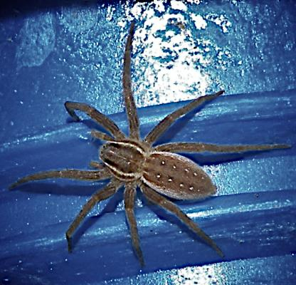 Six-spotted fishing Spider by Jeff Clarke