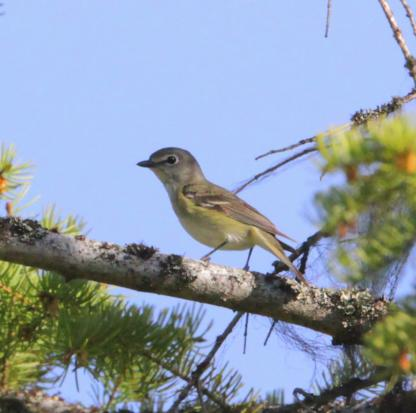 Solitary Vireo by Alan Ramsey