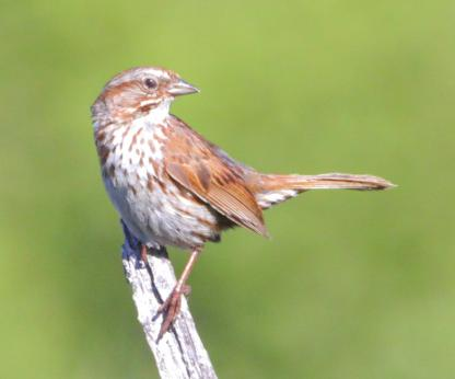 Song Sparrow by Alan Ramsey