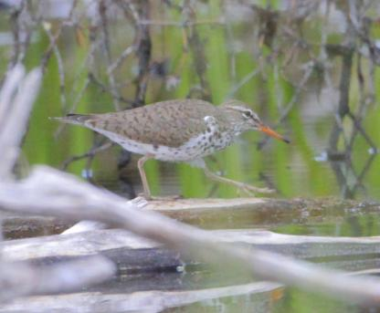 Spotted Sandpiper by Alan Ramsey