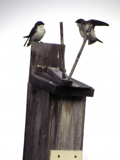 Swallows by Larinda Hunt