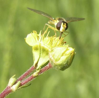 Syrphid Fly by Jeff Clarke
