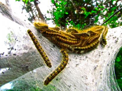 Tent Caterpillars by Larinda Hunt