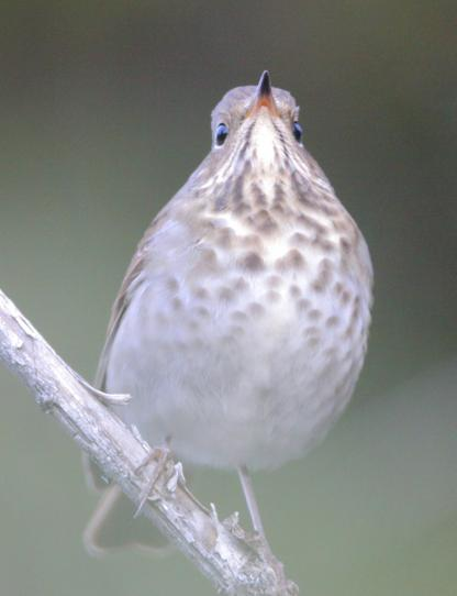 Thrush by Alan Ramsey