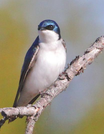 Tree Swallow by Alan Ramsey