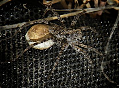 Wolf Spider by Jeff Clarke
