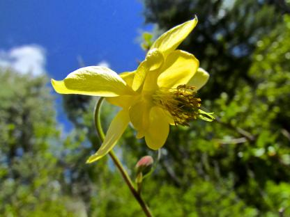 Yellow Columbine by Larinda Hunt