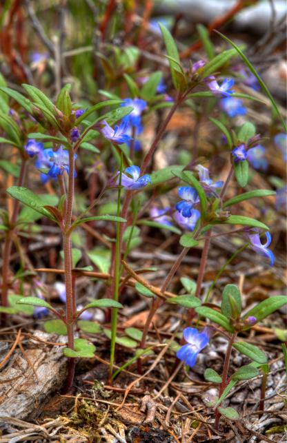 Blue-eyed Mary collinsia parviflora