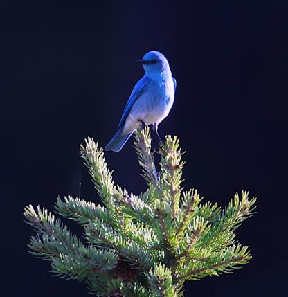 Bluebird by Alan Ramsey