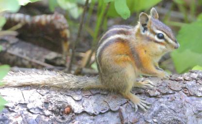 Chipmunk by Alan Ramsey