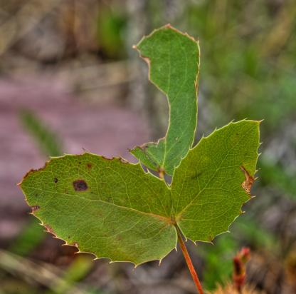 Creeping Oregon Grape by Alan Ramsey