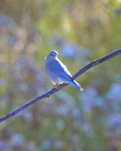 Female Mountain Bluebird by Alan Ramsey