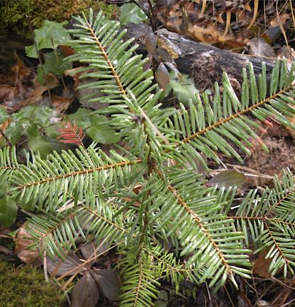 Grand Fir Seedling