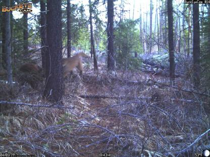 Mountain Lion chases Black Bear