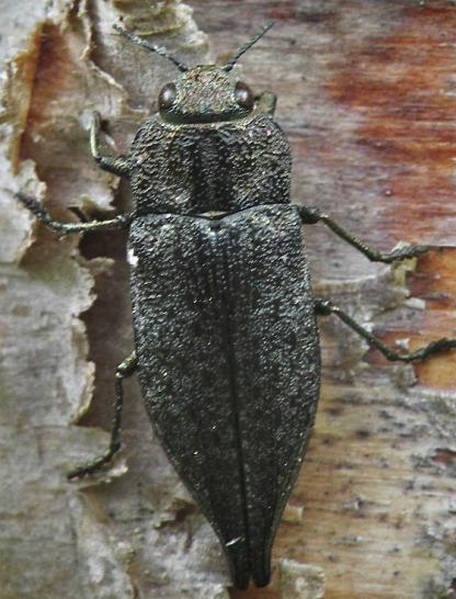 Metallic wood-boring Beetle by Jeff Clarke