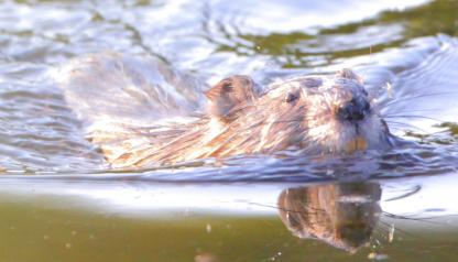 Muskrat by Alan Ramsey