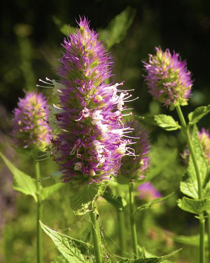 Nettle-leaf Giant-hyssop, by Jeff Clarke