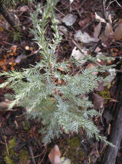 Rocky Mountain Juniper Seedling