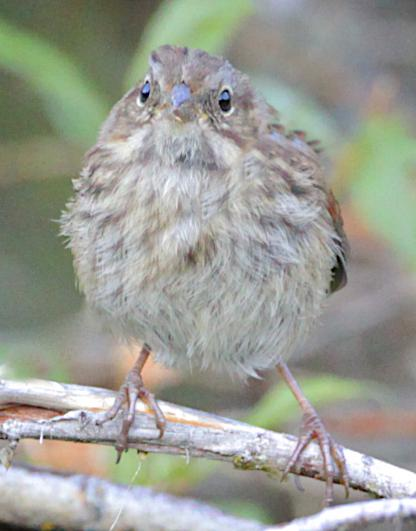 Juvenile Sparrow by Alan Ramsey