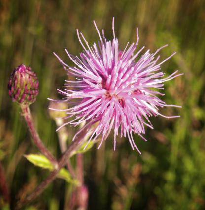 Spotted Knapweed, by Jeff Clarke
