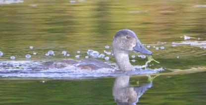 Ring-necked Duck Chick by Alan Ramsey