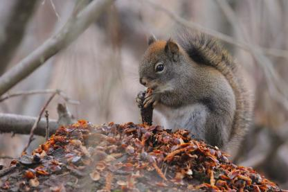 Squirrel by Alan Ramsey