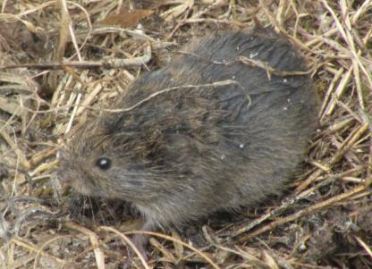 Vole by Jeff Clarke