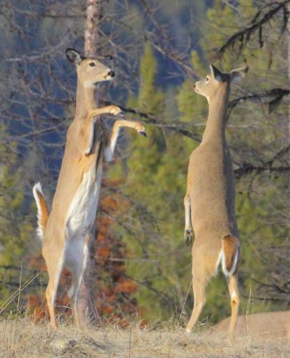 White-tailed Deer by Alan Ramsey