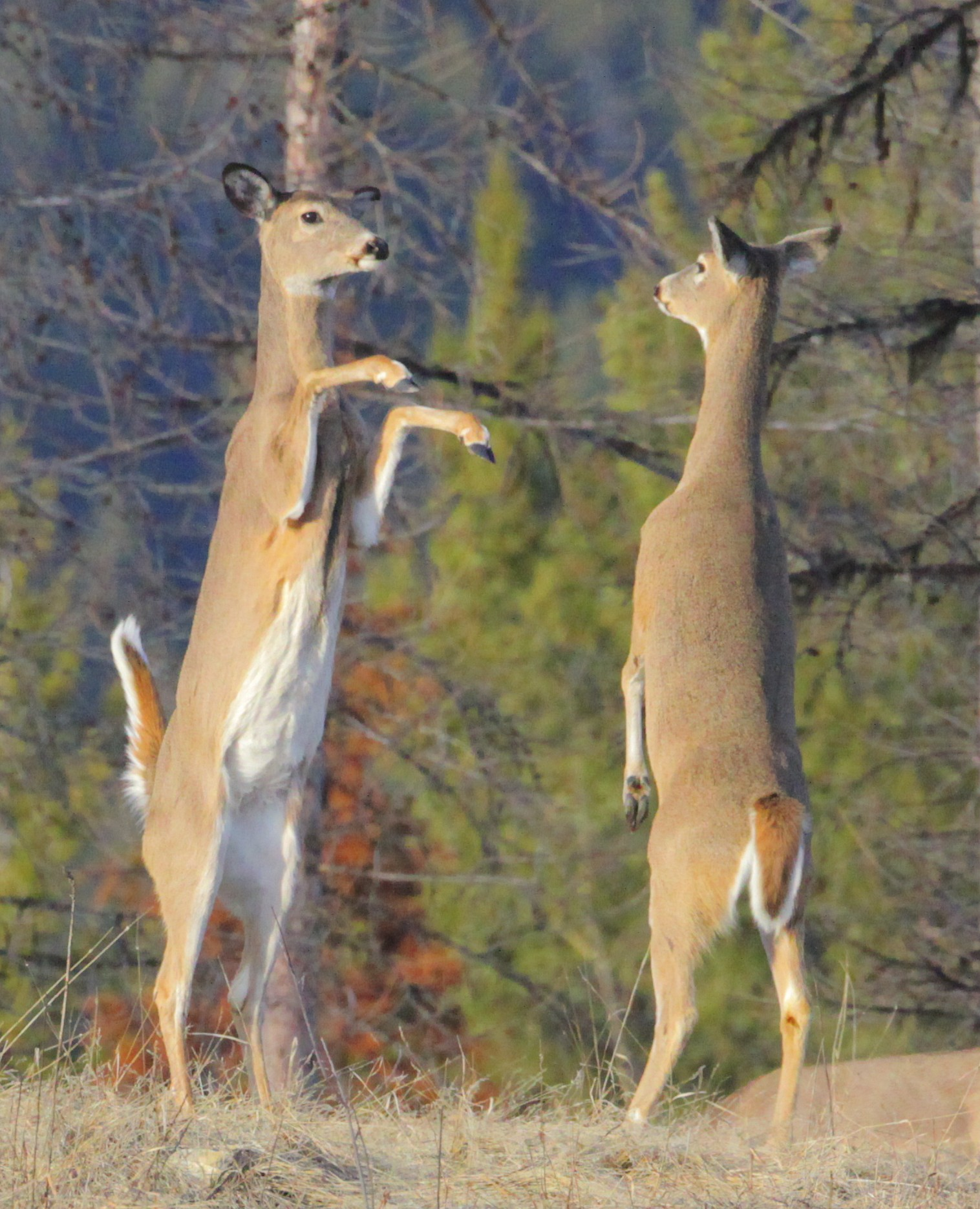 White-tailed Deer (Odocoileus virginianus) | MPG North